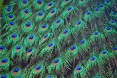 Peacock Feathers-John Zimet